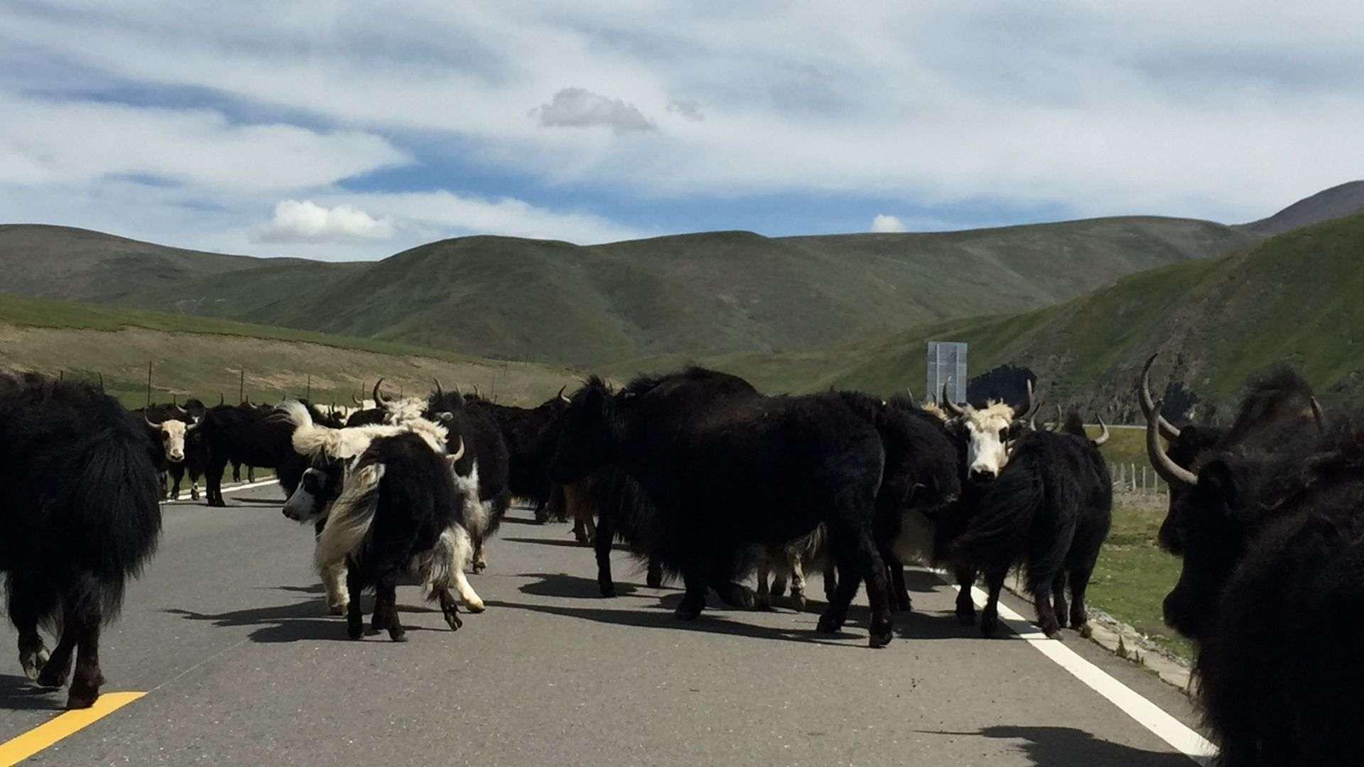 Yaks on the road in Qinghai Province, Eastern Tibet