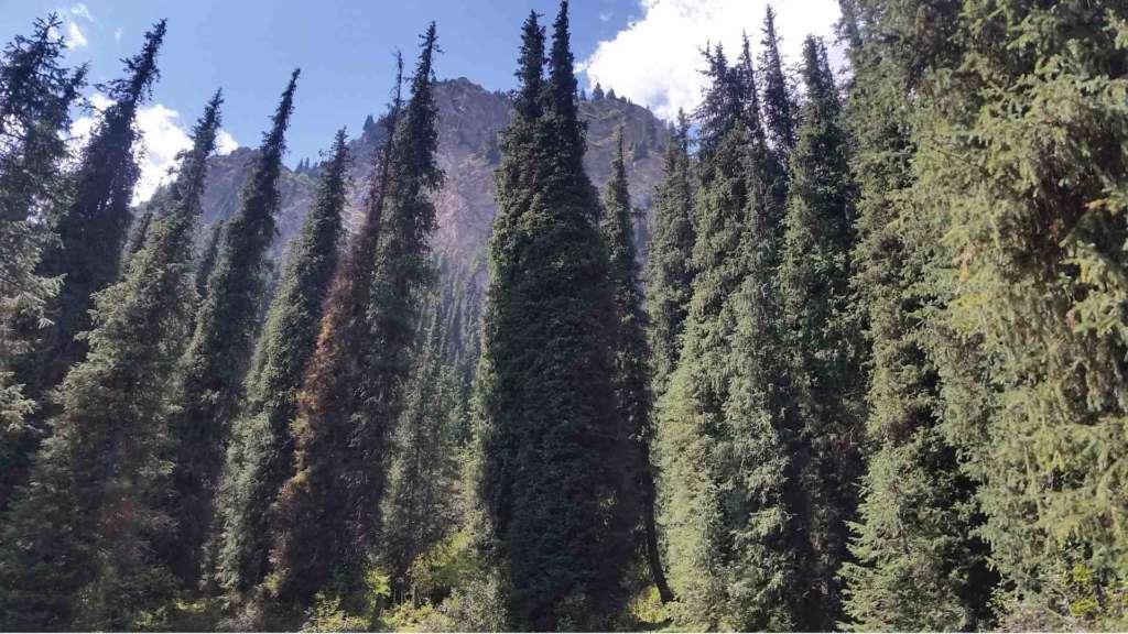 A trip to Kyrgyzstan- the fir-spruce forest of Terskey Alatau at Altyn Arashan