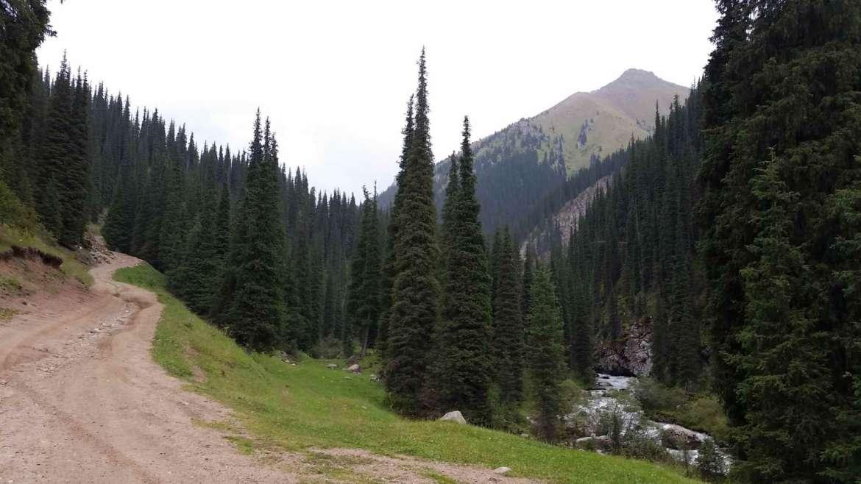 Altyn Arashan, coniferous forest of Tianshan, Kyrgyzstan
