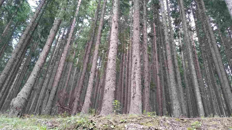 Spruce forest in Pirin mountain, Bulgaria