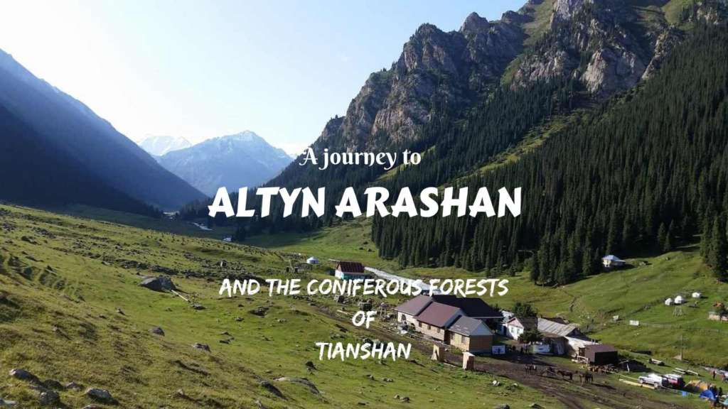 A journey to Altyn Arashan, Kyrgyzstan, and the coniferous forests of Tianshan