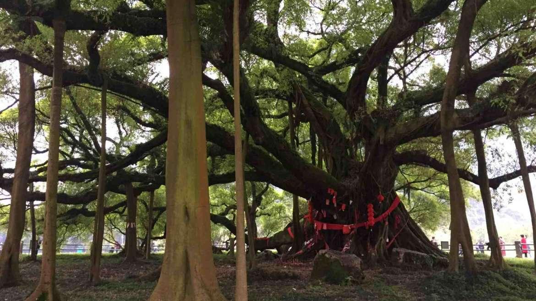 Guilin Karst Hills- Grand Banyan Tree