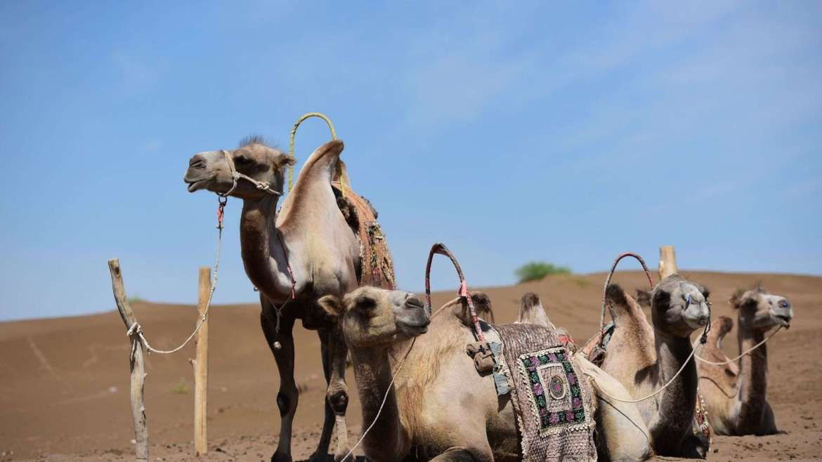 Travel in Turpan- Camels in the wilderness around Turpan