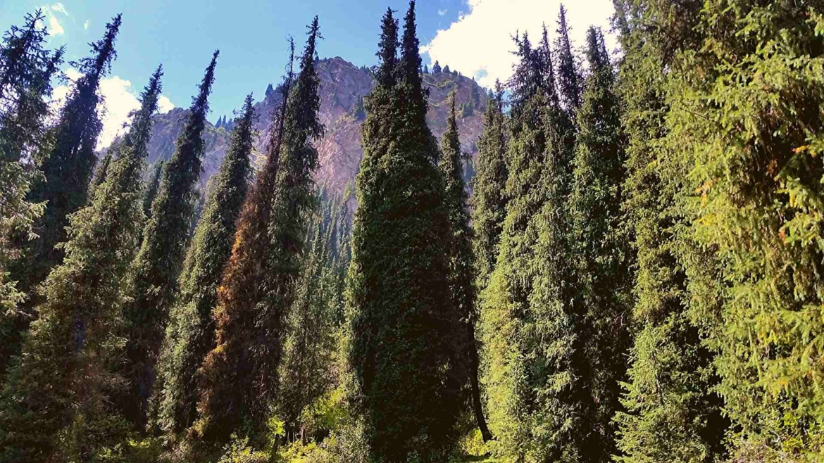 Trekking in Tianshan- Coniferous forests