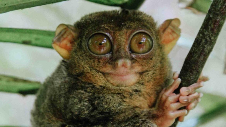 The cute Tarsier