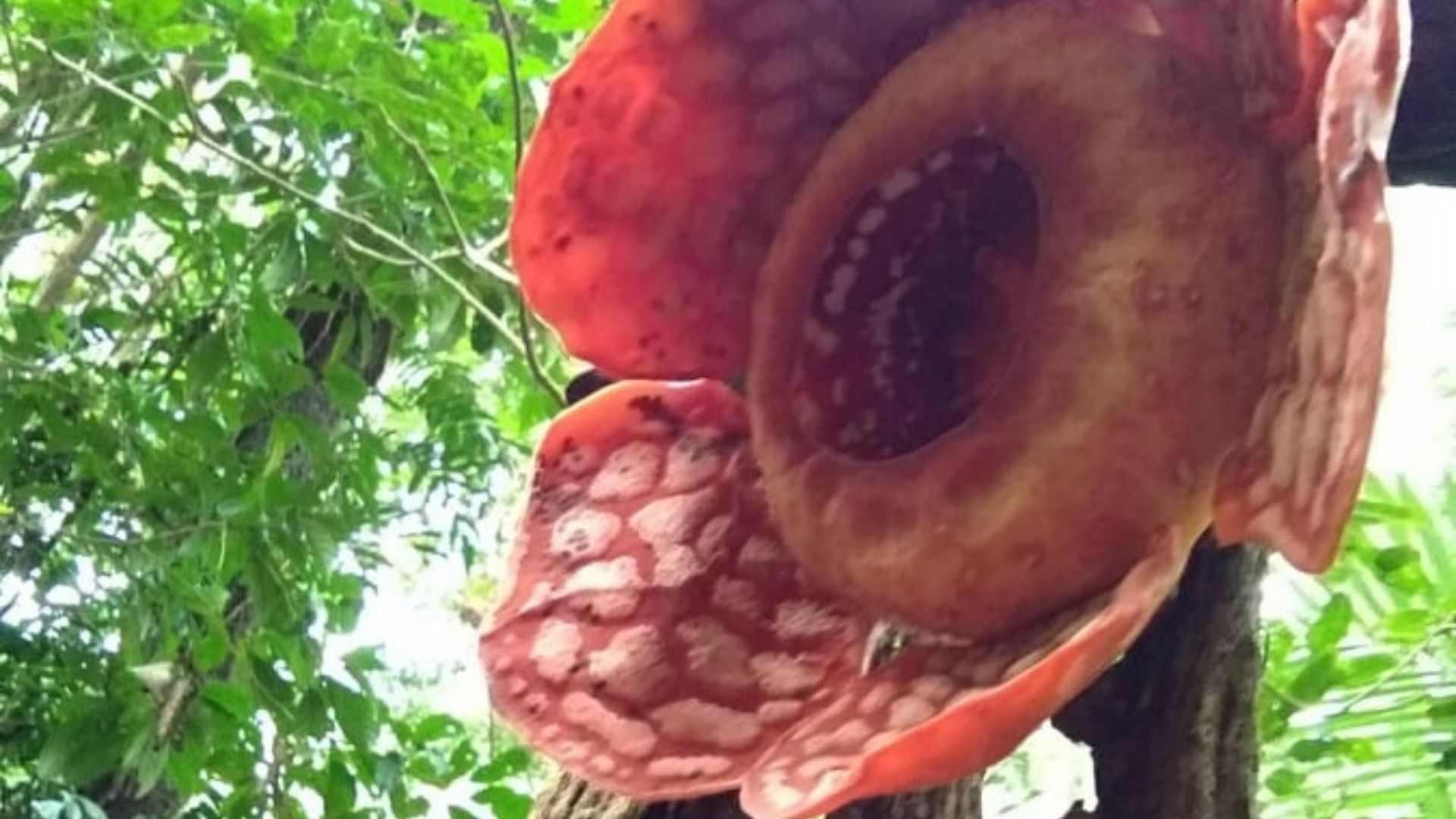 Rafflesia plant