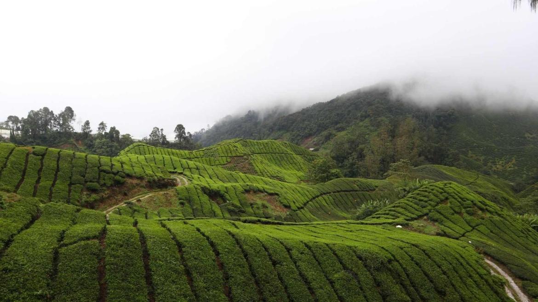 The BOH Tea Fields