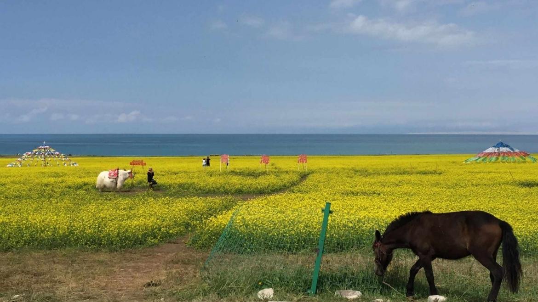 Rapeseed flowers at the coast of Qinghai Lake